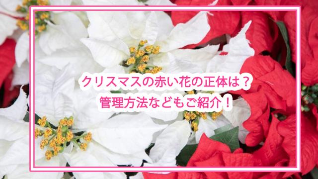 クリスマスの赤い花の正体